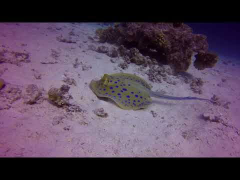 The Name : Blue Spotted Stingray - Hurghada Red Sea Egypt