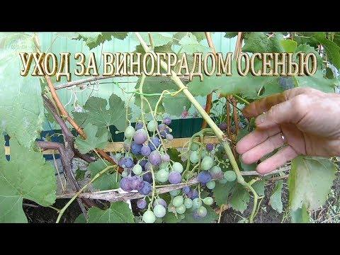 Виноградник осенью.Уход за виноградом осенью.Как ухаживать за виноградом.Подкормка винограда.