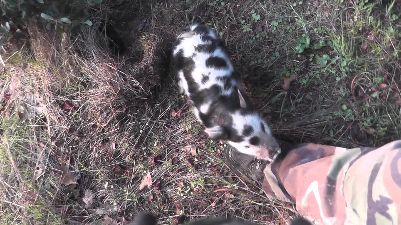 Wild Boar Attacks Human Wild Pig Attack...