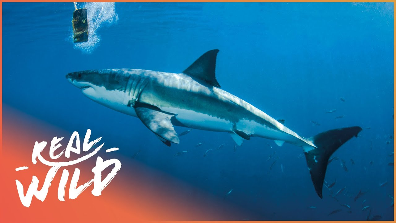 Is Shark Baiting Leading To More Shark Attacks? | The Blue Realm | Real Wild Documentary