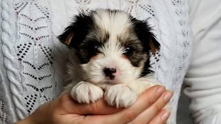 Купить щенка бивер-йорка в Москве.