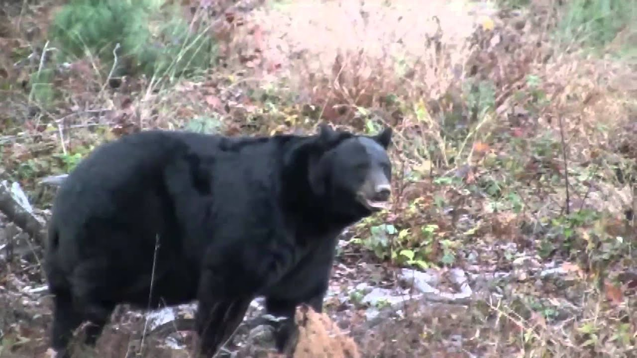 Pennsylvania black bear encouter while archery hunting youtube pennsylvania black bear encouter while archery hunting publicscrutiny Choice Image