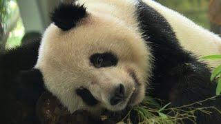 Pandas, tigers keep cool at zoo as record heat wave bakes China