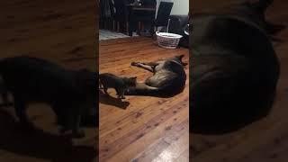 Kitten Wakes Up Dog When September Ends 😴