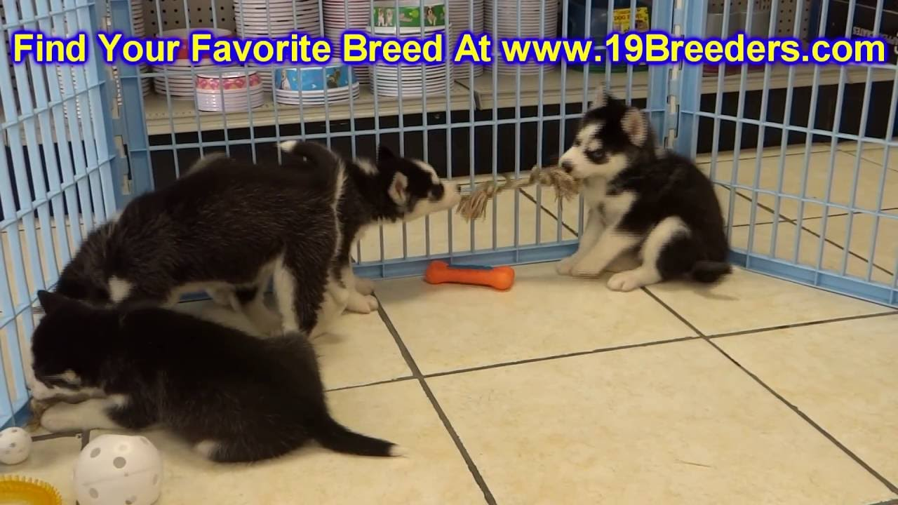 Siberian Husky, Puppies, Dogs, For Sale, In Anchorage ...
