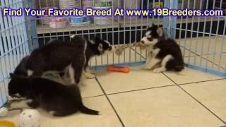 Siberian Husky, Puppies, For, Sale, In, Anchorage, Alaska,AK, Fairbanks, Juneau, Eagle River