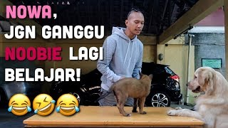 Download Video PELATIHAN NOOBIE | ANUBIS THE BELGIAN MALINOIS MP3 3GP MP4