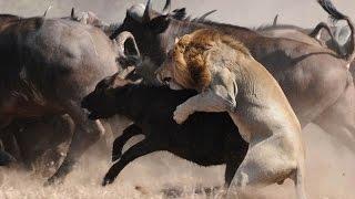 雄狮猎杀落单野牛,野牛王带着牛群赶到狮子险被乱角顶死
