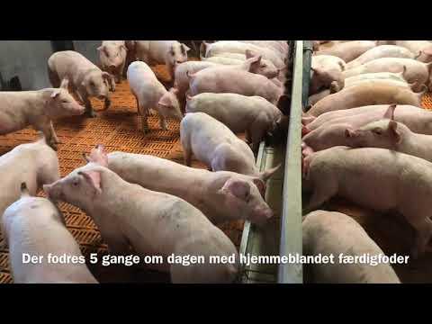 Restriktiv vådfodring med ædetidsstyring i klimastalden, Big Dutchman