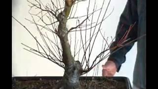 Bonsai styling japanese maple coral bark pt 6