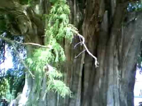 El arbol del tule oaxaca mexico youtube