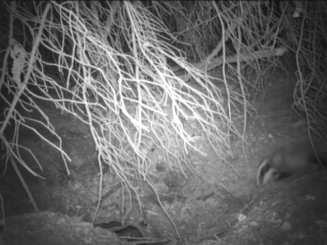 It's Badger Cub Season!