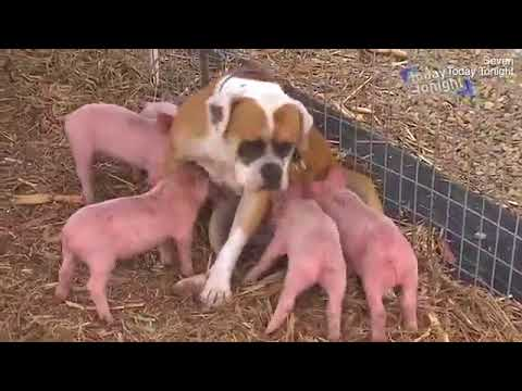 Treasure the Boxer dog becomes a mother to eight piglets