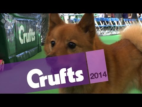 Finnish Spitz | Best of Breed | Crufts 2014