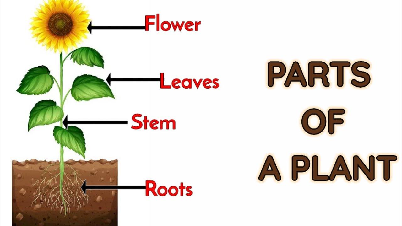 Parts of plants   Different parts of plants   Part of ...