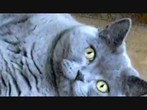 Kot Brytyjski Krótkowłosy Niebieski Youtube