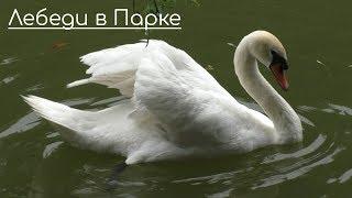 Лебеди в Винницком Парке + Стих о Лебедях