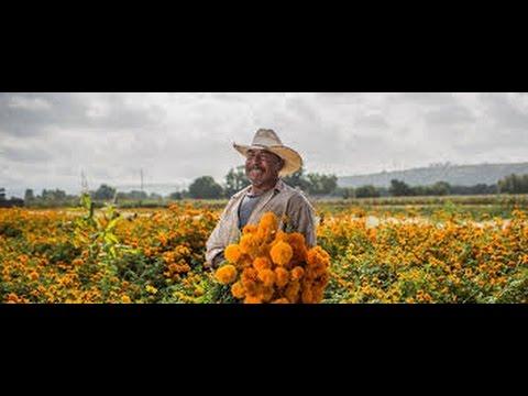 Como sembrar cempas chil o tagetes serie de flores for Como sembrar plantas ornamentales
