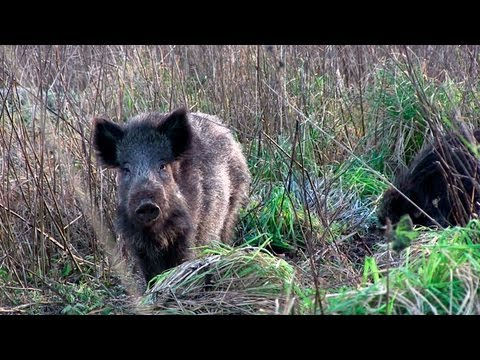 The Shooting Show - British boar under moonlight and Heym SR21 review