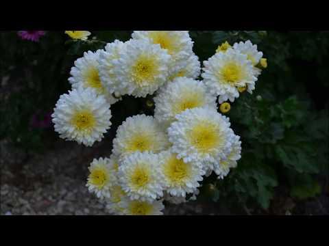 Хризантема корейская (дубки). Фото цветения хризантемы 4 сортов