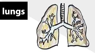 How to draw lungs? NCERT CBSE ICSE class 3 science (Breathing)
