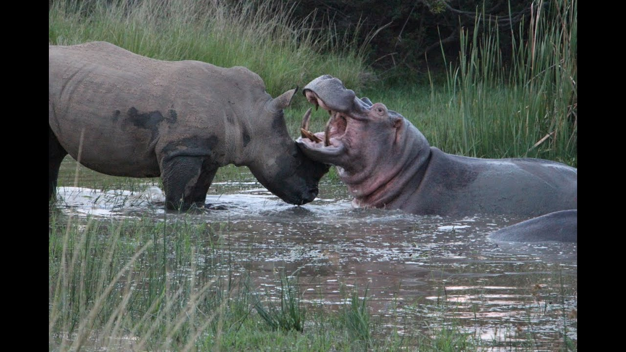 Rhino and Hippo Date Night
