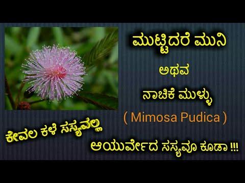 #ಮುಟ್ಟಿದರೆ ಮುನಿ,#ನಾಚಿಕೆ ಮುಳ್ಳು,#ಅಂಜಲಿಕಾರಿಕೆ,#muttidare muni,#touch me not,#mimosa pudica