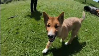 This Rare Dingo Pup Literally Fell Out of the Sky