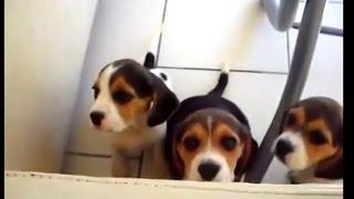 【大人気犬】犬のビーグル特集!Beagle 犬のビーグル特集です。 垂れた...