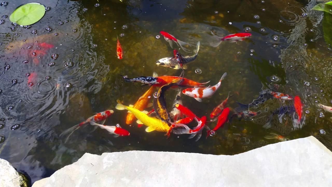 Koi, Goldfish, Catfish In Clear Backyard Pond W/ Waterfall