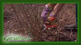 When to Prune Hydrangeas | Volunteer Gardener