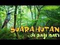 Suara Burung Di Hutan Pada Pagi Hari  Mp3 - Mp4 Download
