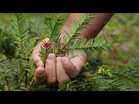 A Brief Introduction to Himalayan Yew Nepal Herbs