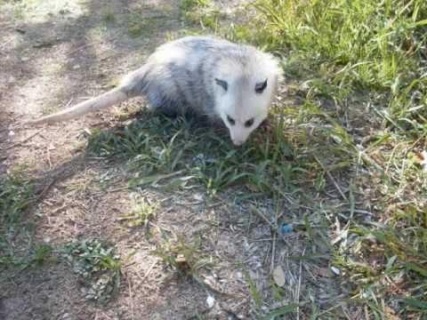 My Pet Opossum, Crash