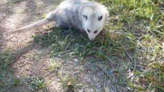 My Pet Opossum, Crash