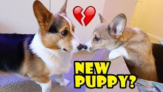 Surprising My Dog w/a Corgi Puppy! (Doesn't go well) || Life After College: Ep. 588