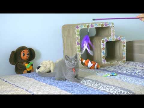 British kitty Raina is 3 months old