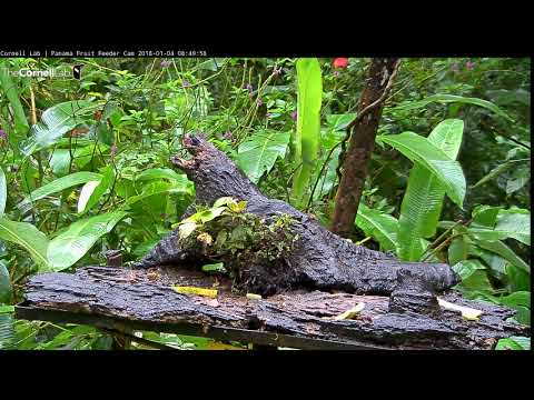 Panama Fruit Feeder Cam