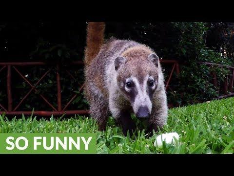 Adorable baby coatis curiously investigate camera