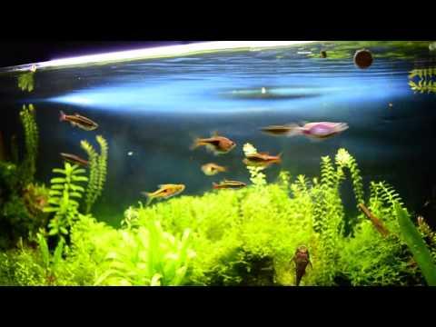 Relaxing Aquarium (Rasboras, Tanichthys albonubes)