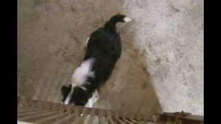 チベタン、テリア45日目の仔犬.