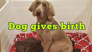 My Dog Weimaraner Luna Gives Birth to 10 Beautiful Puppies!