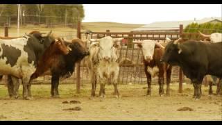 RODEO - Le métier de bullfighter avec Dominic Roy