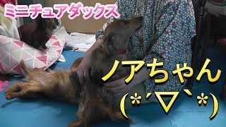 【ミニチュアダックス】ナツ・ノアちゃんの里帰りでお泊り(*´▽`*)