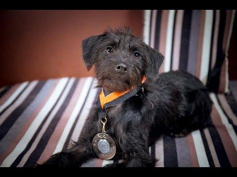Evie - Jackapoo Puppy - 3 Weeks Residential Dog Training