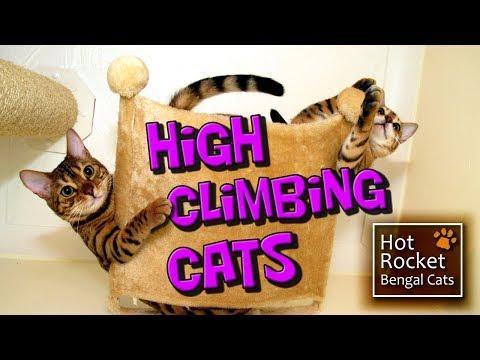 Bengal kittens – high climbing play,  cats get up to mischief!