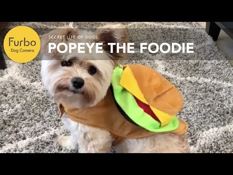 popeye-the-foodie-dog-approves-of-the-furbo-dog-camera