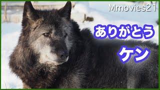 ありがとう シンリンオオカミのケン(旭山動物園)11歳~13歳 Timber Wolf α