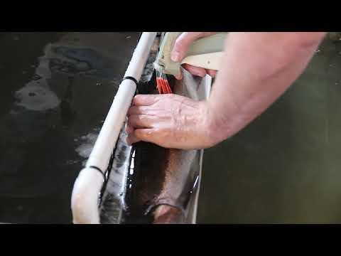 FLOY Tagging Steelhead At Lower Granite Dam
