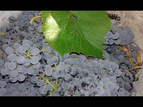 Виноград, сорта, полезные свойства, где растет лучший